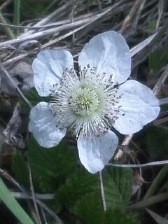 花あるき・2011 [81] クサイチゴ