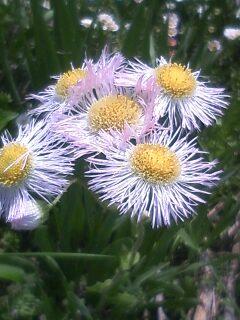花あるき・2011 [83] ハルジオン