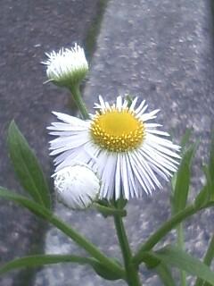 花あるき・2011 [84] ヒメジョオン
