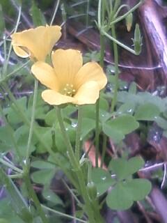 花あるき・2011 [86] タチカタバミ