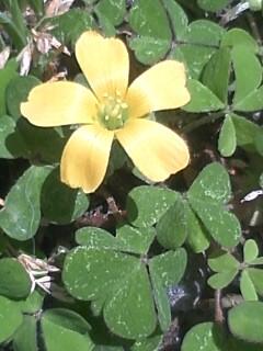 花あるき・2011 [85] カタバミ