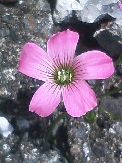 花あるき・2011 [87] ムラサキカタバミ