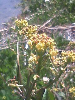 花あるき・2011 [89] スカシタゴボウ
