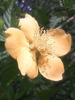 花あるき・2011 [91] ヤマブキ