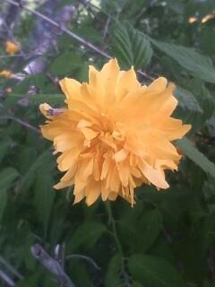 花あるき・2011 [92] ヤエヤマブキ