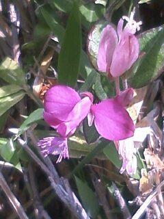 花あるき・2011 [95] ヒメハギ