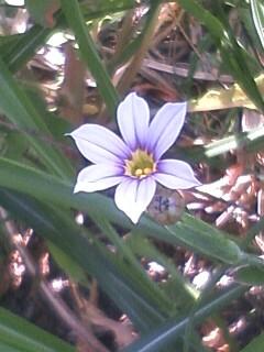 花あるき・2011 [96] オオニワゼキショウ