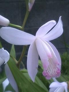 花あるき・2011 [97] シラン