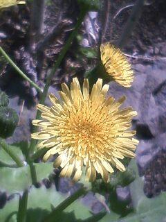 花あるき・2011 [99] ノゲシ