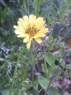 花あるき・2011 [101] ジシバリ