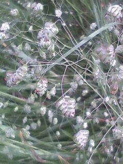 花あるき・2011 [104] ヒメコバンソウ