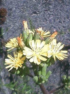 花あるき・2011 [110] オニタビラコ