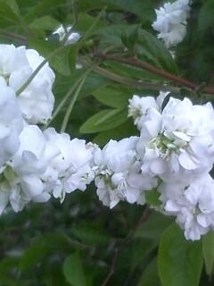 花あるき・2011 [112] シジミバナ