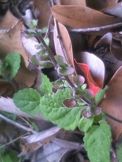 花あるき・2011 [111]のおまけ タツナミソウ
