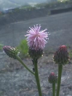 花あるき・2011 [117] キツネアザミ