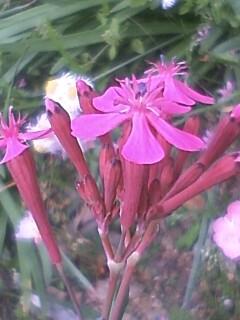 花あるき・2011 [120] ムシトリナデシコ