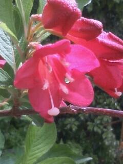 花あるき・2011 [124] タニウツギ