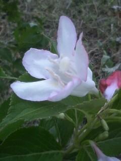 花あるき・2011 [123] ニシキウツギ