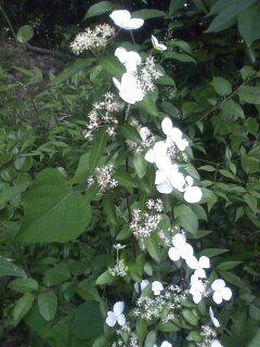花あるき・2011 [125] ガクウツギ