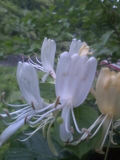 花あるき・2011 [126] スイカズラ