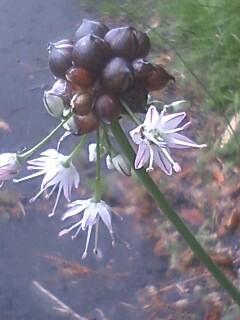 花あるき・2011 [127] ノビル