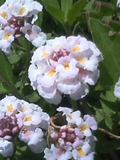 花あるき・2011 [129] ヒメイワダレソウ