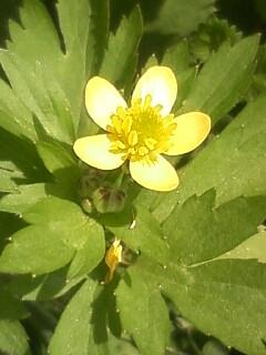 花あるき・2011 [133] ケキツネノボタン