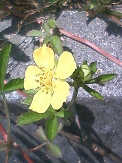 花あるき・2011 [137] オヘビイチゴ