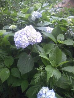 花あるき・2011 [139] アジサイ