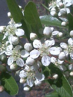 花あるき・2011 [141] トキワサンザシ