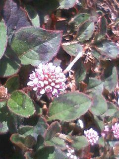 花あるき・2011 [142] ヒメツルソバ