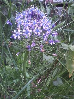 花あるき・2011 [144] オオツルボ