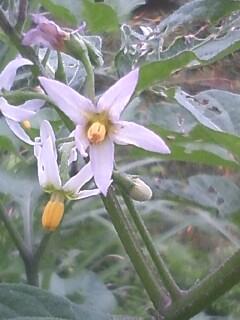 花あるき・2011 [145] アメリカイヌホオズキ