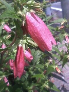 花あるき・2011 [146] ホタルブクロ