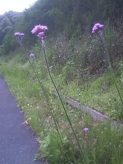 花あるき・2011 [147] ヤナギハナガサ