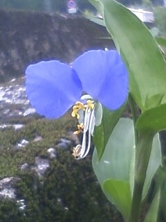 花あるき・2011 [153] ツユクサ