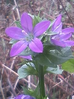 花あるき・2011 [154] キキョウソウ