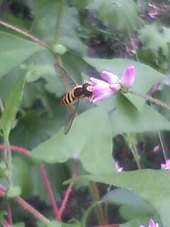 花あるき・2011 [156] ママコノシリヌグイ