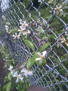 花あるき・2011 [157] テイカカズラ