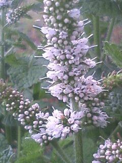 花あるき・2011 [162] マルバハッカ
