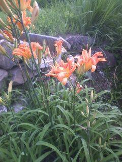 花あるき・2011 [163] ヤブカンゾウ