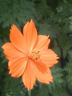 花あるき・2011 [164] キバナコスモス