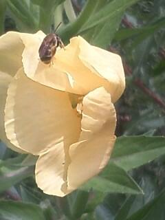 花あるき・2011 [166] メマツヨイグサ