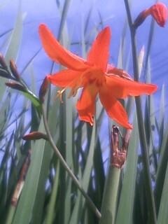 花あるき・2011 [168] ヒメヒオウギズイセン