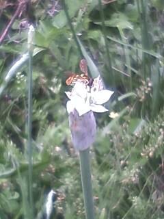 花あるき・2011 [169] ニラ