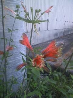 花あるき・2011 [170] ユリズイセン