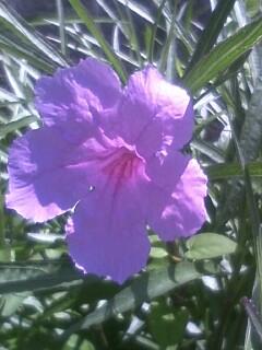 花あるき・2011 [172] ヤナギバルイラソウ