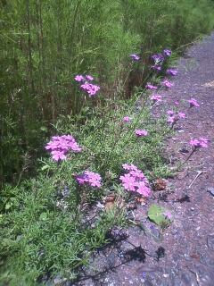 花あるき・2011 [173] バーベナ