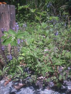 花あるき・2011 [175] オオニシキソウ