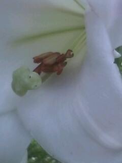 花あるき・2011 [177] タカサゴユリ